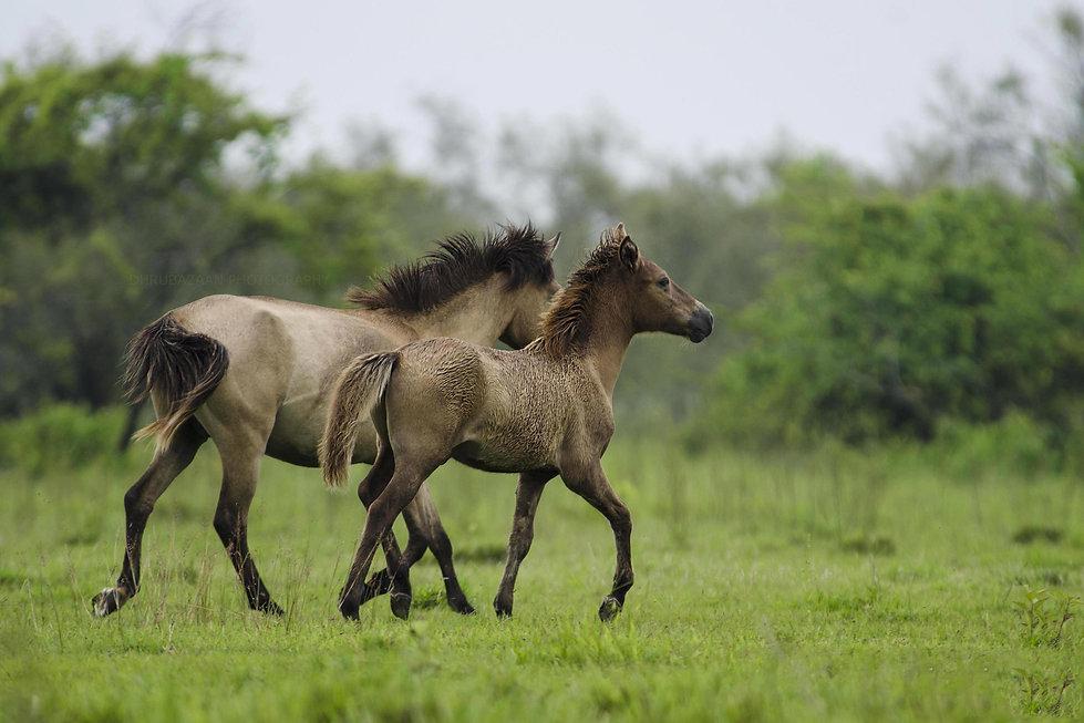 Wild Horses of Dibru Saikhowa