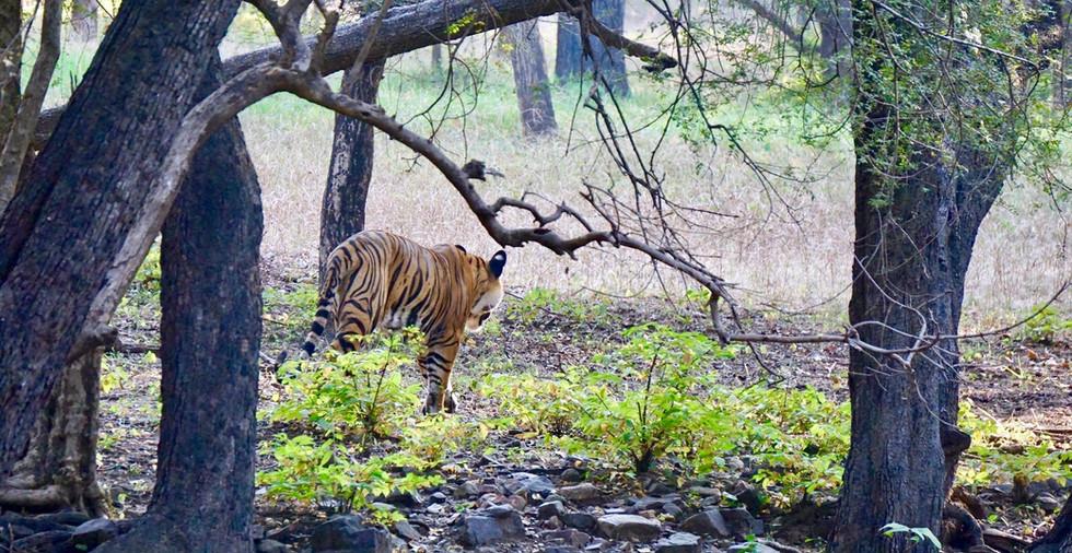 Tiger-Rh_gehtweg.jpg