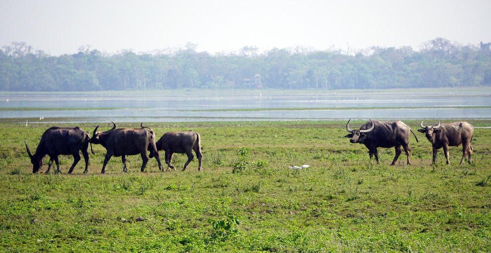 Asiatic Wild Water Buffalo