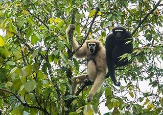 Hoolock-Gibbon.jpg