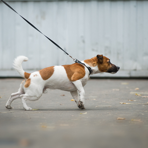 How to Stop Pulling On Leash