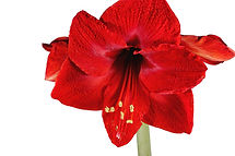blooming-red-amaryllis-over-a-white-back