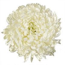 White-Albatross-Bloom-2-350_b855c627.jpg