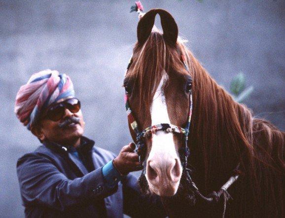 Kathiawari Stallion Rajrana