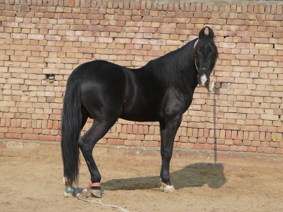 Marwari Stallion son of Devraj