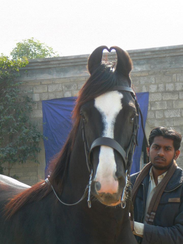 Marwari Stallion Kala Kata
