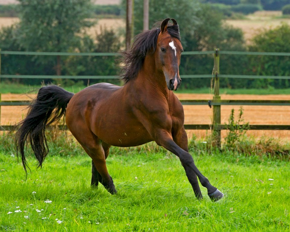 Marwari Stallion Dilraj