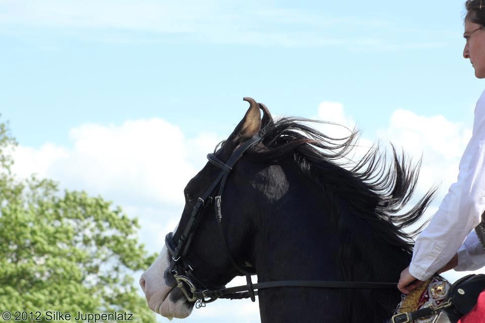 Marwari Stallion Nazrullah