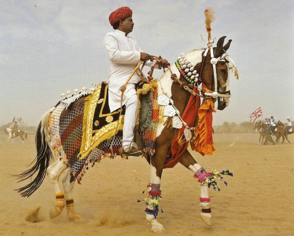 Horse Trainer Matadhin/Marwari mare