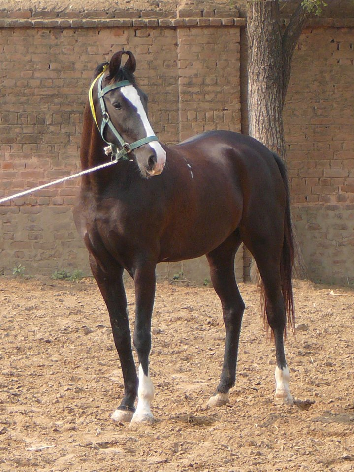 Young Marwari filly