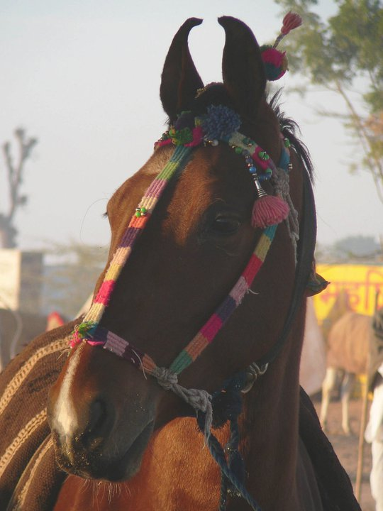 Marwari at Fair. Pic: C Moorey