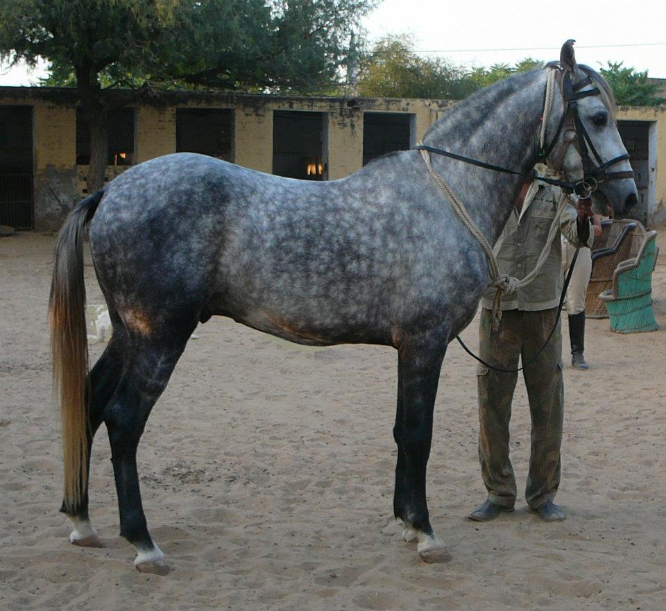 Marwari Stallion Prabhat