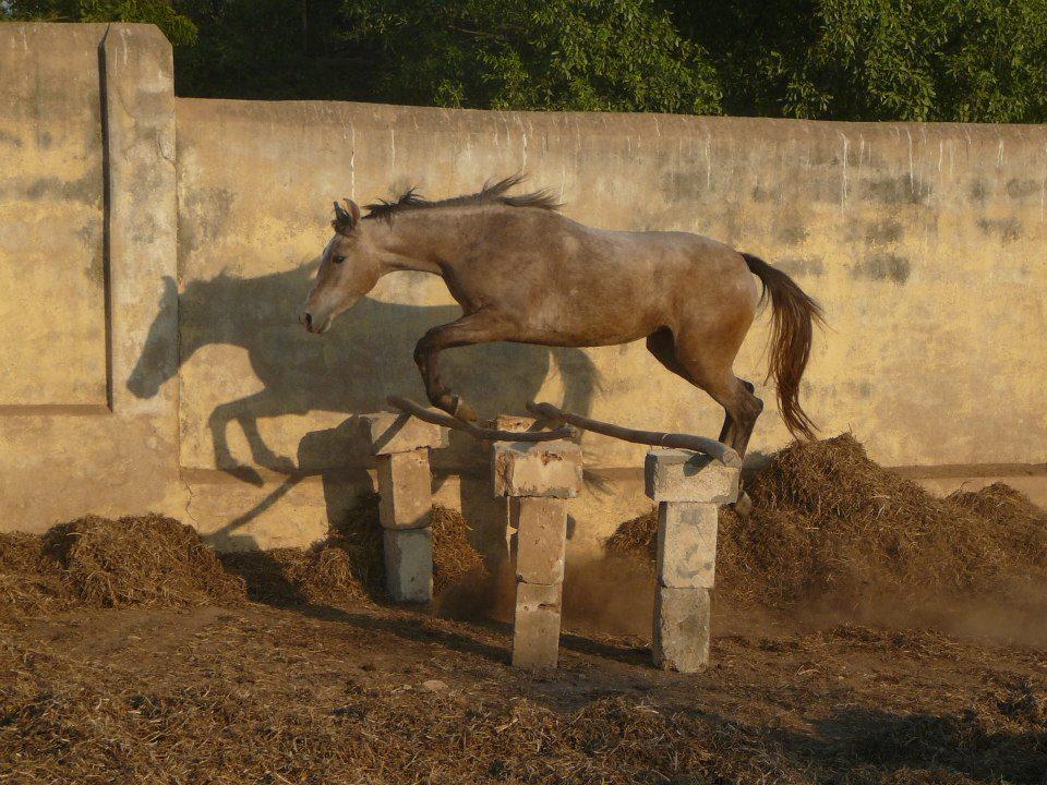 2yr old Kathiawari filly in paddock