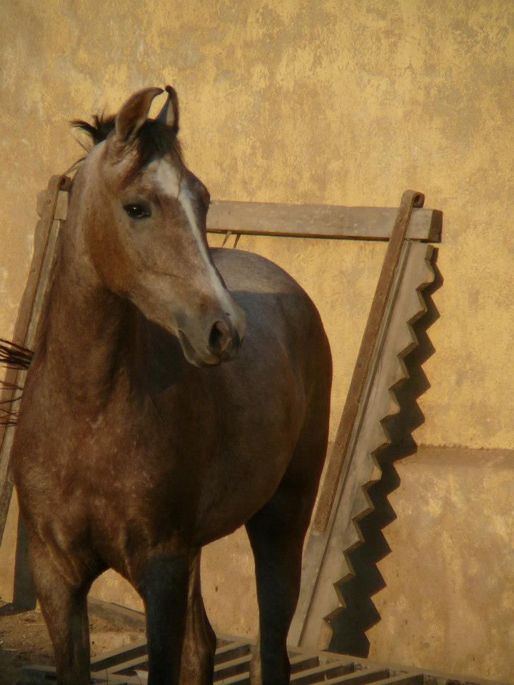 Kathiawari filly Kinjal