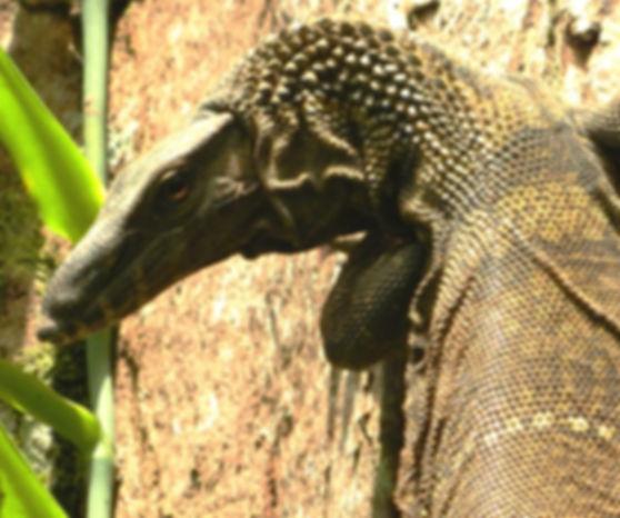 Sumatran Tree Lizard