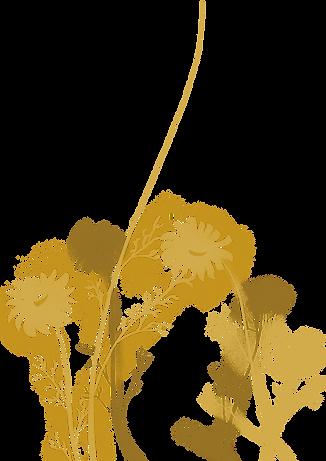 chamomile illustration.png