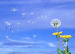 Are you a Dandelion yet?