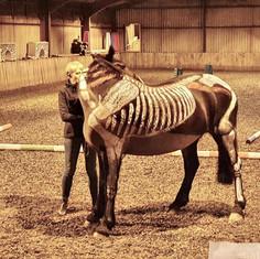Equine Posture and Anatomy demo