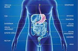 image du systeme digestif