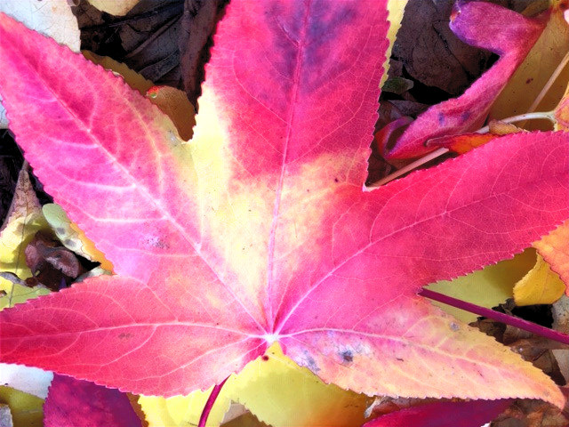 Vibrant pink and yellow Liquid Amber autumn leaf