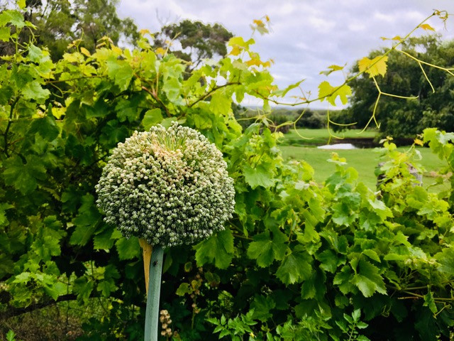 Leek flower in foreground, grapevines behind.