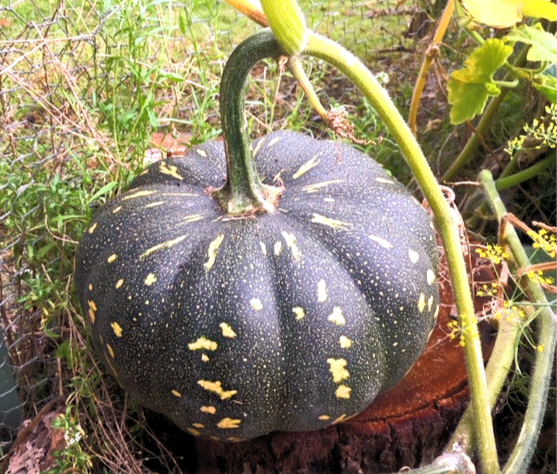 Close-up of dark green and yellow-speckled pumpkin growing.
