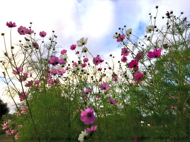 Low shot looking up at pink and white cosmos flowers against the sky.