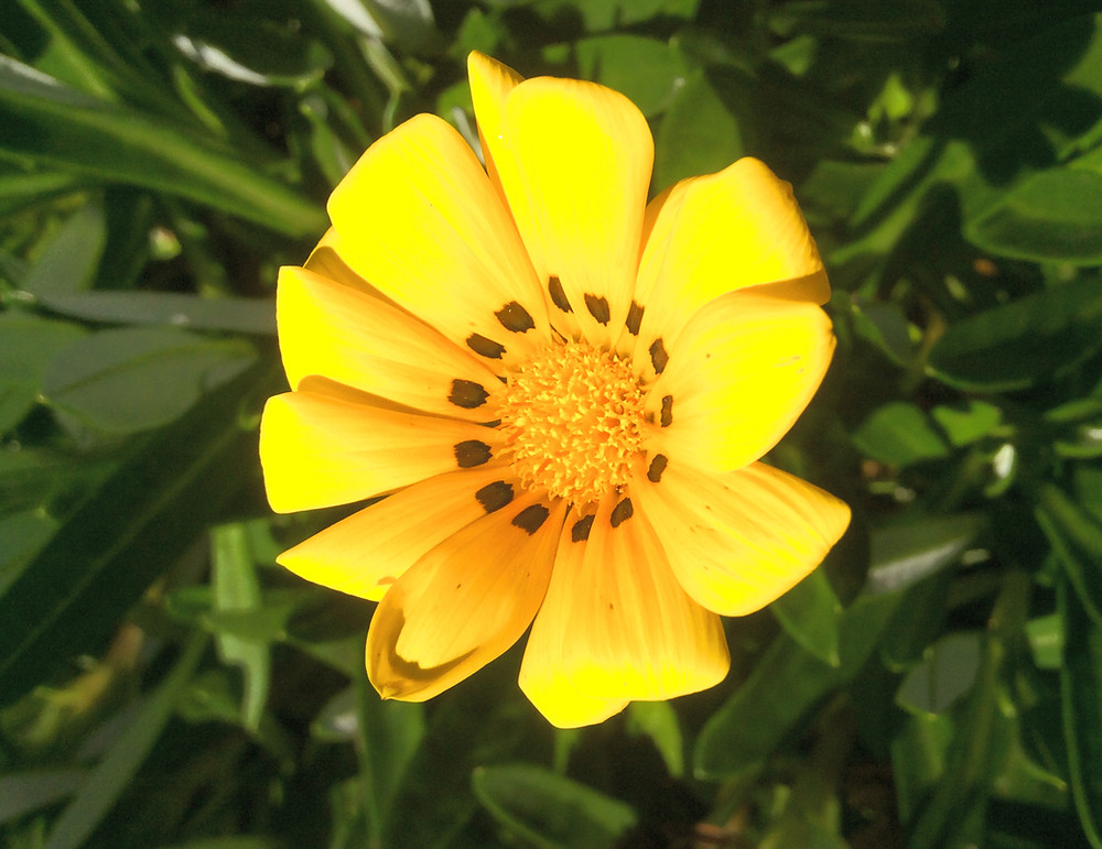 Closeup of yellow daisy with black dots around centre.