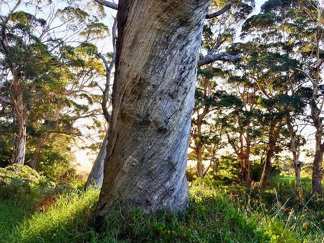 Close-up of tree trunk, with setting sun and distant trees. Sunlight on grass around base of tree.