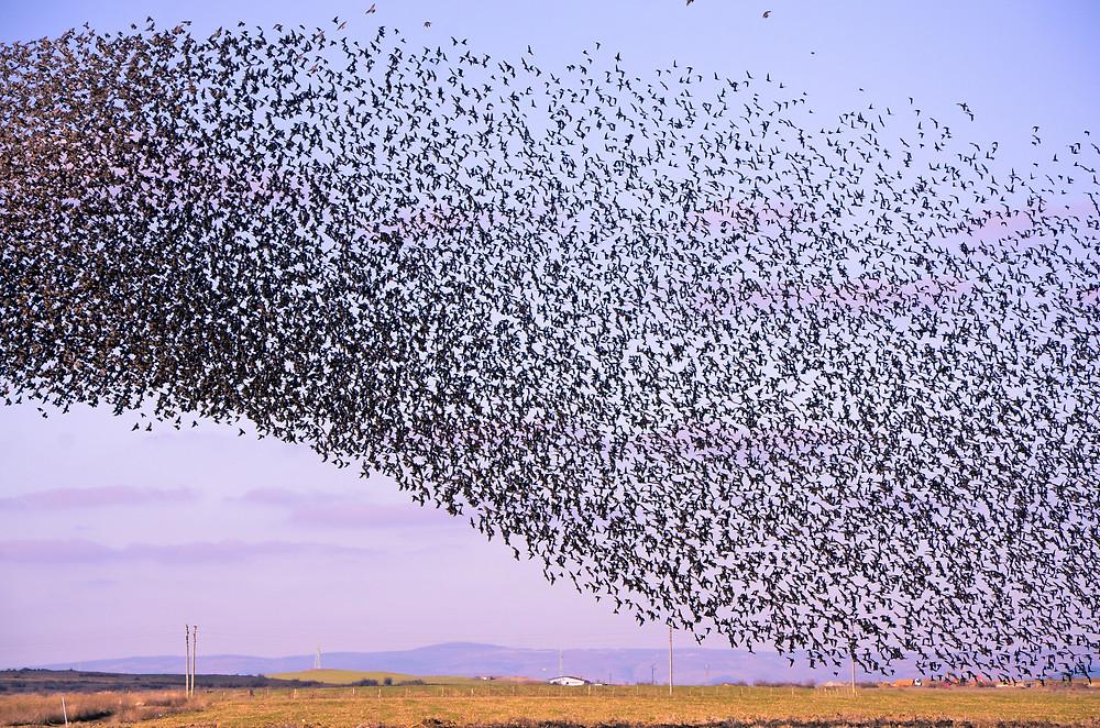 Murmuration of starlings