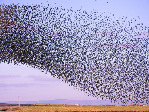 What a Murmuration of Starlings Taught Me