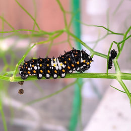 Caterpillars: Week 1