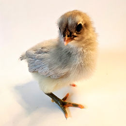 Chick Update: Week 1