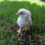 Chick Update: Hatch Day