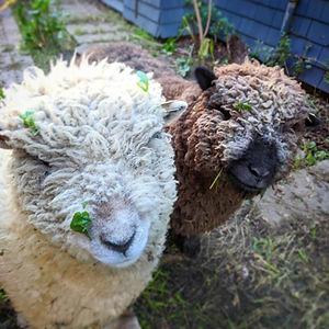 Meet the Sheep