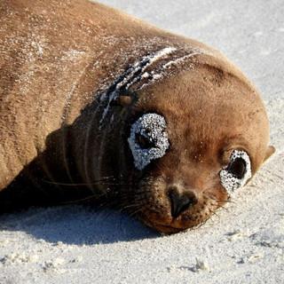 Baby Sea Lion Galapagos