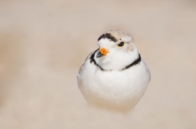 Pure Plover