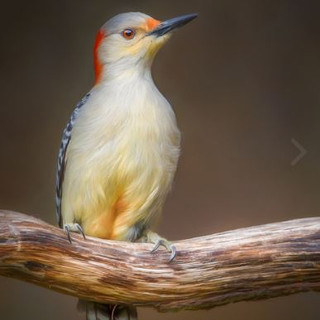 Second Place - Red Bellied Woodpecker
