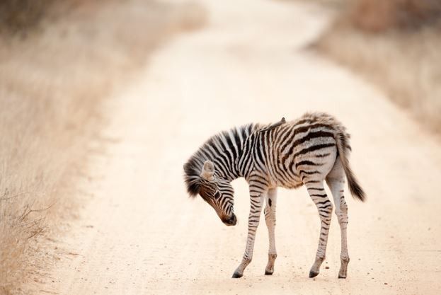 Zebra Calf, Ngala, South Africa, 2011