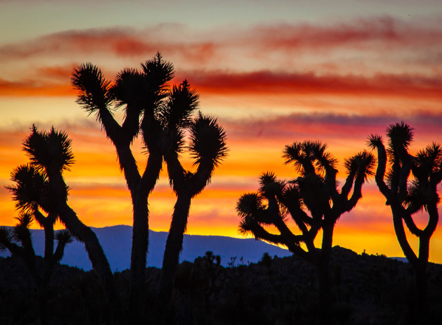 Sunset and Joshua Trees