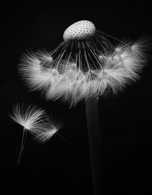 Floating Dandelion