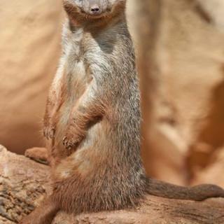 Meerkat