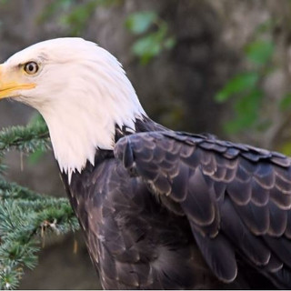 Side View of Bald Eagle