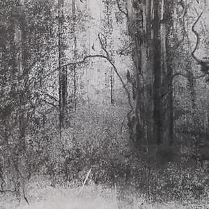 Pines and Laurel Oaks at Dawn 1