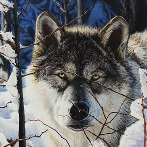 'Up Close and Personal' - Timber Wolf
