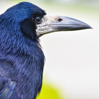 Raven Profile, Dublin, Ireland