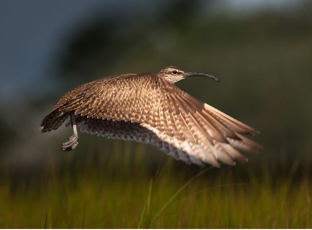 Honorable Mention, Animal - Whimbrel in Flight