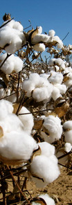 cotton-for-article-picture-1333x1000.jpg