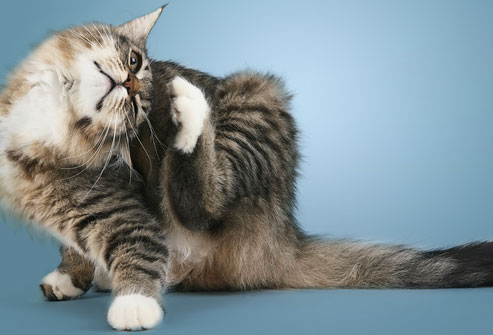 photolibrary_rf_photo_of_cat_scratching