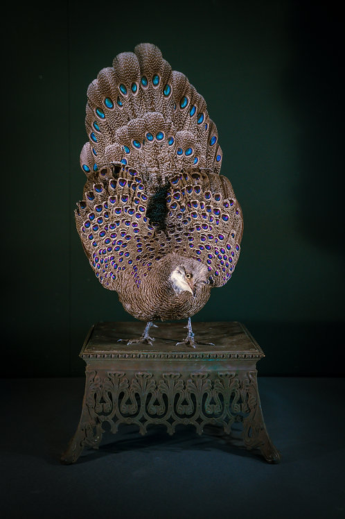 Polyplectron bicalcaratum (mounted on an antique cast iron ornament)